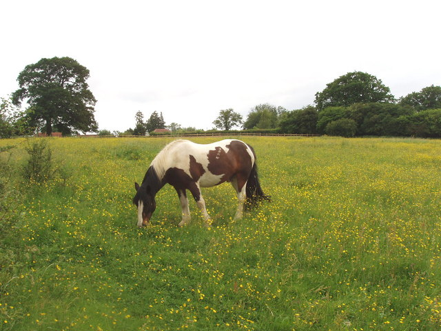 Pasture with buttercups and horse, near Chesham - geograph.org.uk - 186619